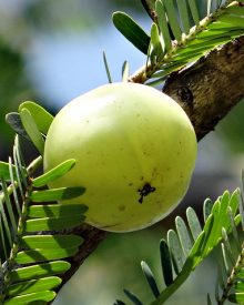 can i eat amla in pregnancy