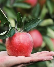 can i eat apple in pregnancy